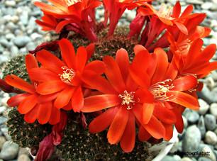 Kaktus_Rote_Blüten.jpg