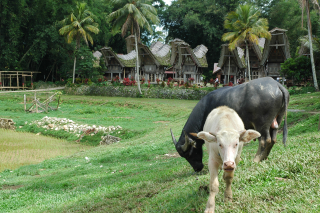 Buffaloes and Toraja village