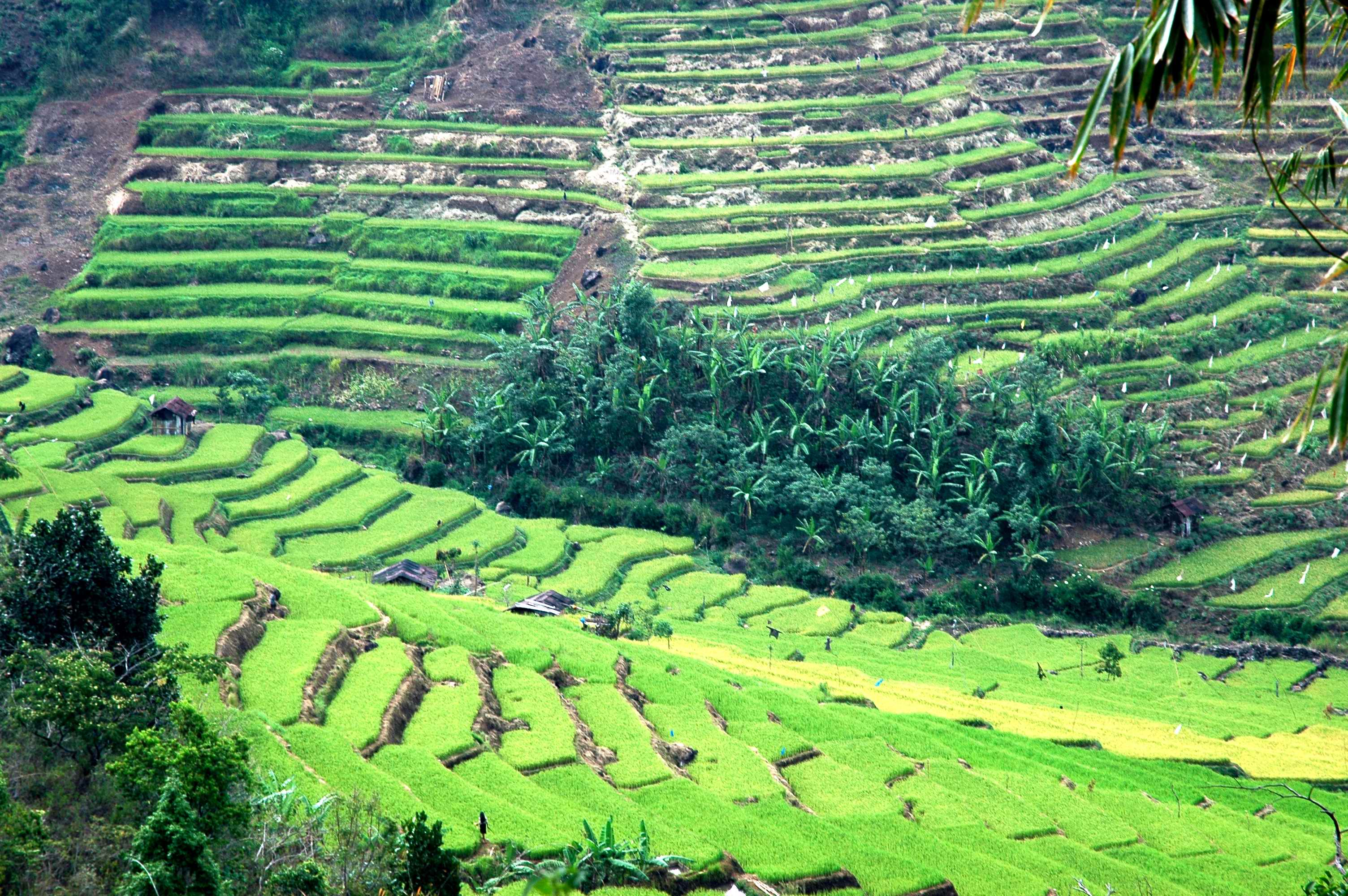 Terraced Rice fields in Ruteng