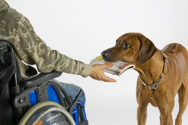 Куче за подвижност му носи книга на неговиот сопственик кој седи во инвалидска количка