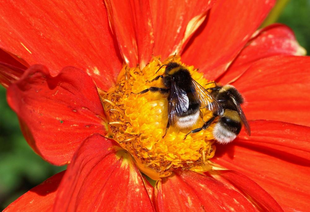 bigstock-Bumblebees-79931440.jpg