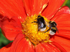 Save The Bumblebees!
