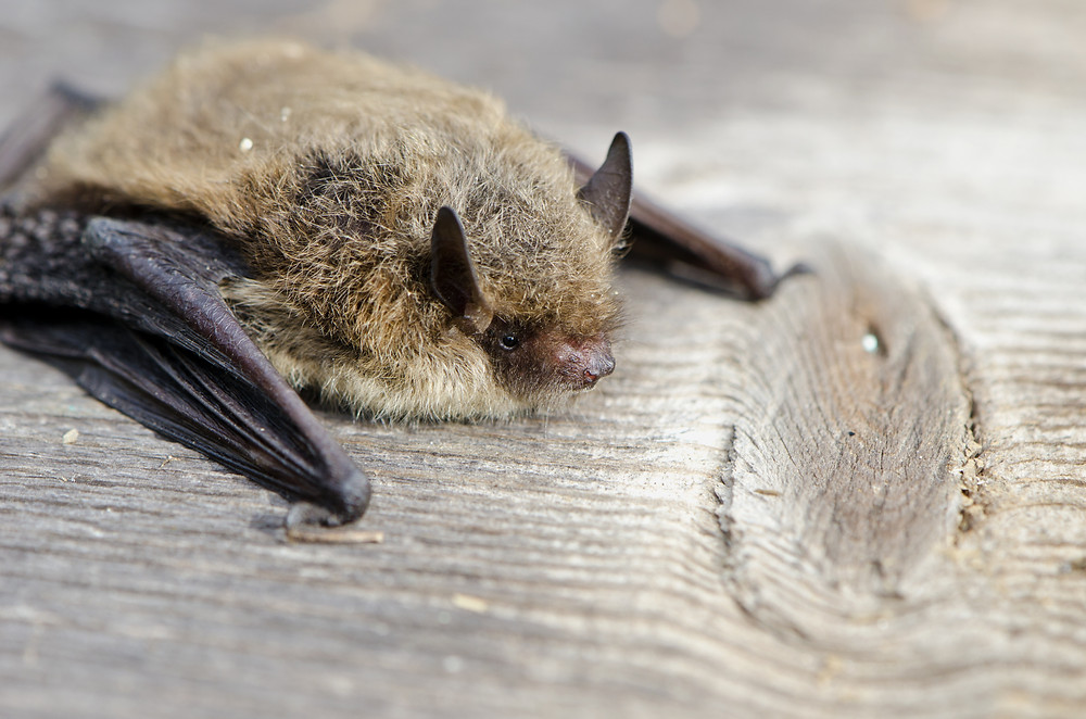 bigstock-Animal-Bat-Nathusius-Pipistre-81493790.jpg