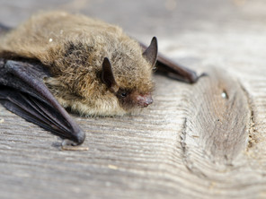 Why are bats a protected species?