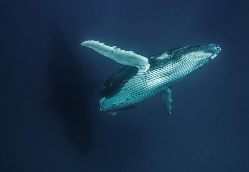 Tonga: humpback