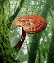 Ganoderma Lucidum Reishi Lingzhi Mushroom