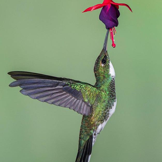 colibri no.3