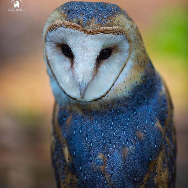 Blue Owl no.41