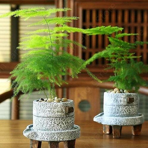 Bonsai Farn-Spargel