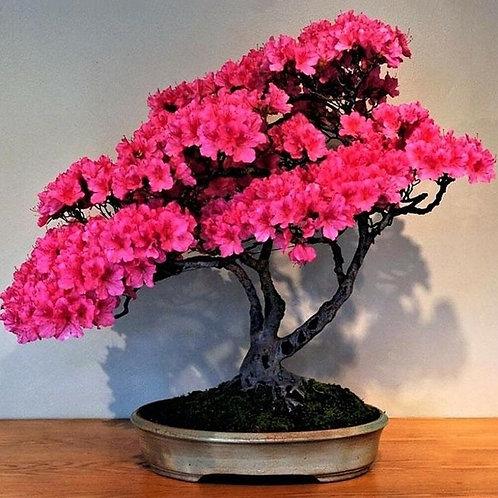 Bonsai Kirschblüten (Sakura)