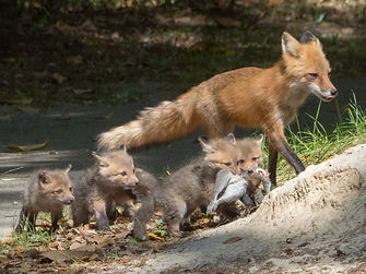 Letting the Kits carry home supper.jpg
