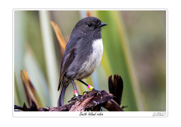 South Island robin.jpg