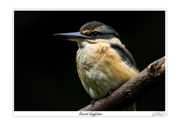 Sacred kingfisher.jpg