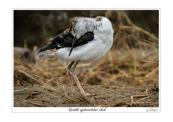 variable oystercatcher chick.jpg