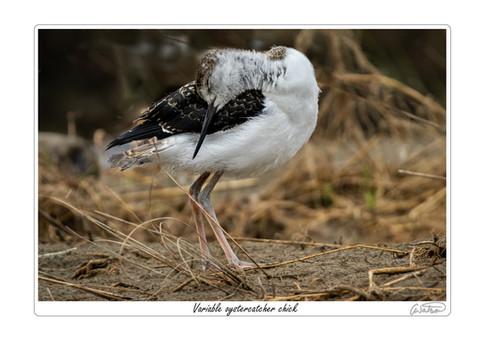 variable oystercatcher chick.jpg