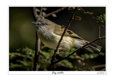 Grey warbler.jpg
