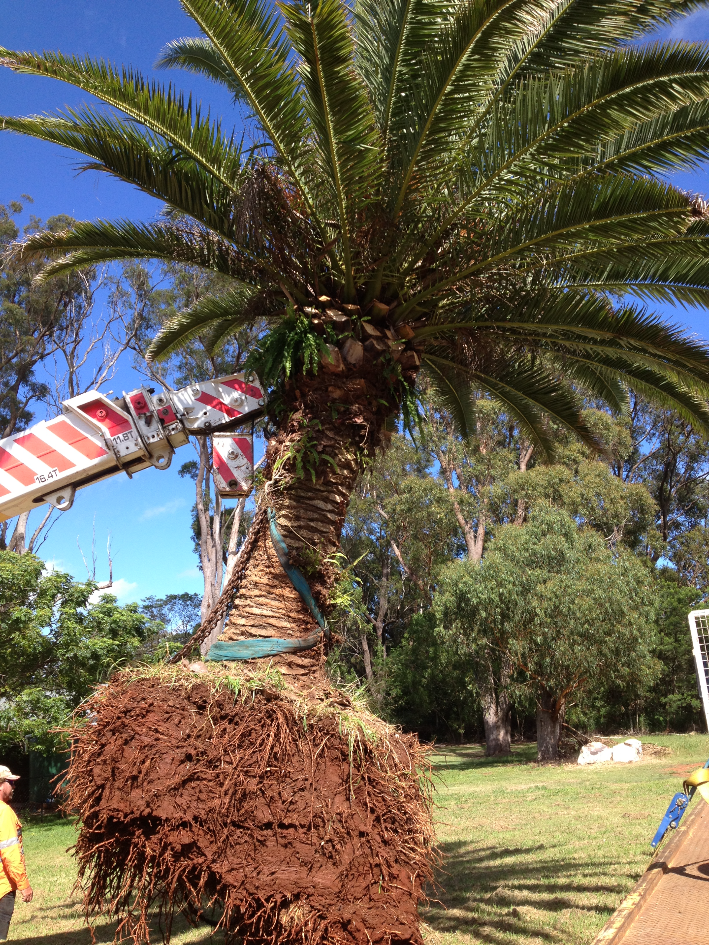 Palm Tree Lift.JPG
