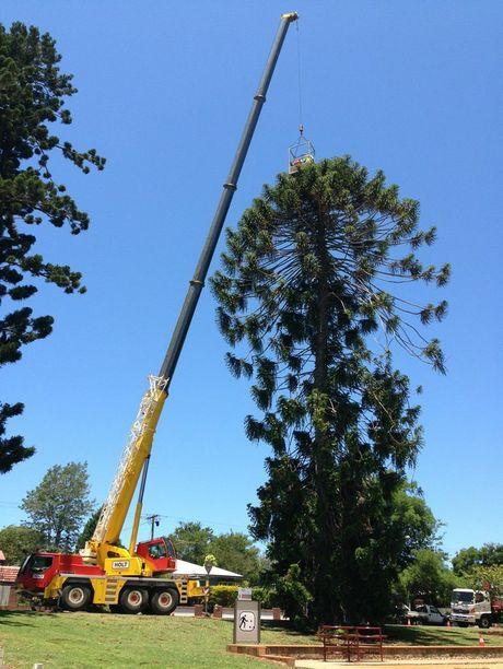 TRC Bunya Tree Harvest.jpg
