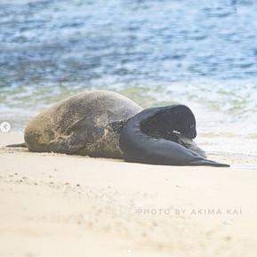 Introducing: Lōliʻi The Hawaiian Monk Seal