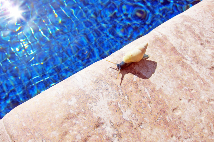 Blue snail (Drymaeus laticinctus) endemic to Dominica, at the pool
