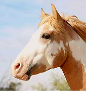 Stallion-Page-Thumbnail-213x213_edited.p