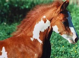 Orejano foal.jpg