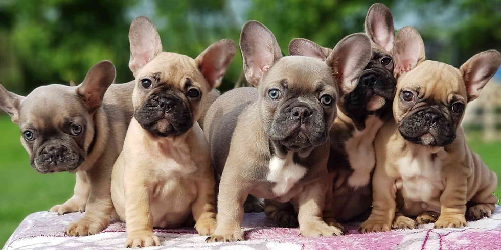 french=bulldog-puppies.jpg