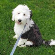 gray-and-white-dog.jpg