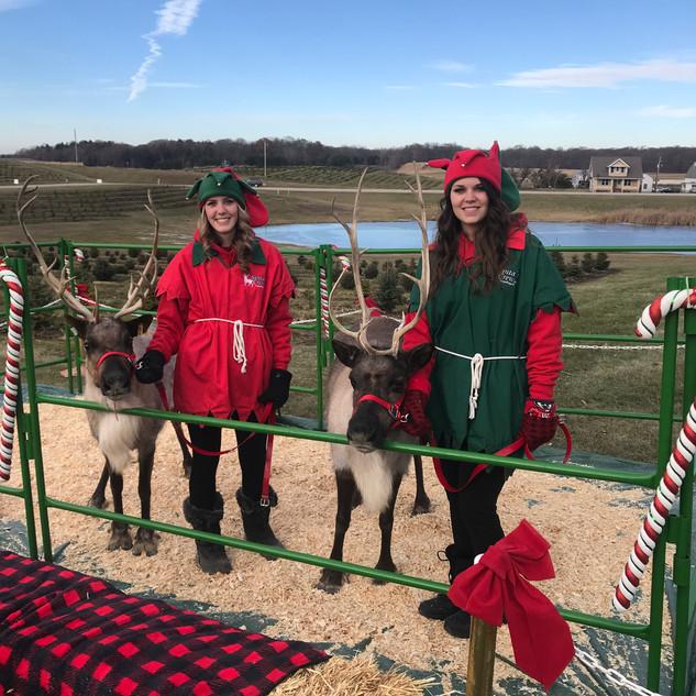 Live Reindeer!