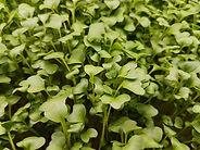 Microgreen Brocoli
