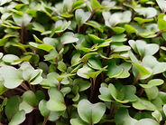 Microgreen Cabbage