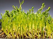 Microgreen Peas