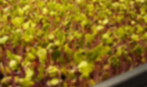 Microgreens early stage