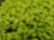 Microgreen Mustard