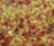 Microgreen Swiss Chard