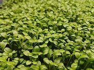 Microgreen Clover