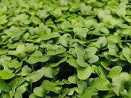 Microgreen Kale