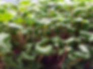 Microgreen Radish