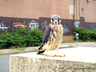 Summer Lecture Series August: Providence's Urban Raptors by Peter Green, Photographer - Wed Aug