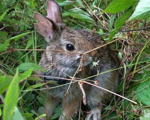 Summer Lecture Series September - New England Cottontails in Rhode Island by Lou Perotti, Director o