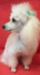 Groomed Toy Poodle