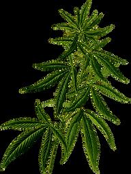 hempbotanic.png