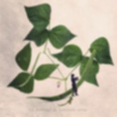 Le_défileur_de_haricots_verts.jpg