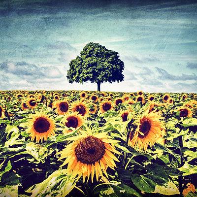 série photographie artistique paysages de nature et d'arbres, tournesol en été