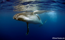 Humpback Whale in Moorea