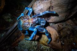 Kaveo - Coconut crab
