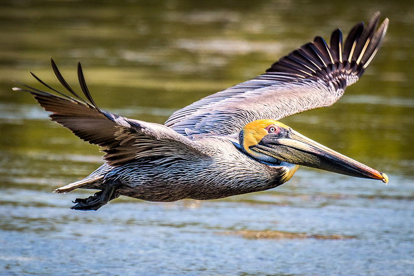 Brown Pelican by James Robellard