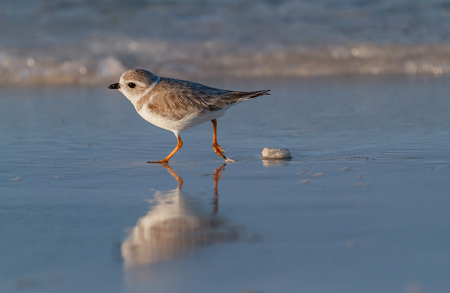 Piping Plover by Lorraine Minns