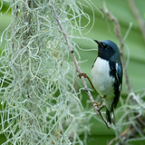 BlackthroatedBlueWarbler_SpanishMoss_Epi