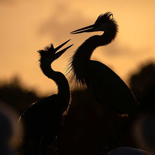 Great Blue Herons by Federico Acevedo